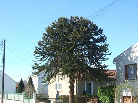 Araucaria araucana - désespoir du singe Dscf8831