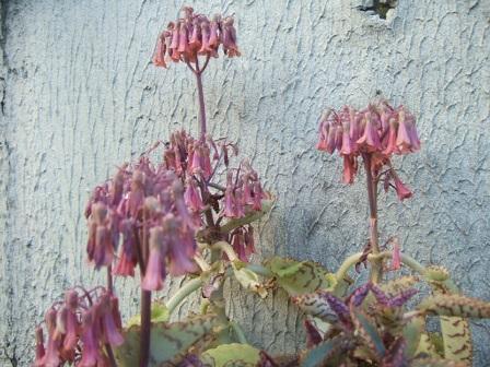 Bryophyllum daigremontiana (= Kalanchoe daigremontiana) Dscf8840