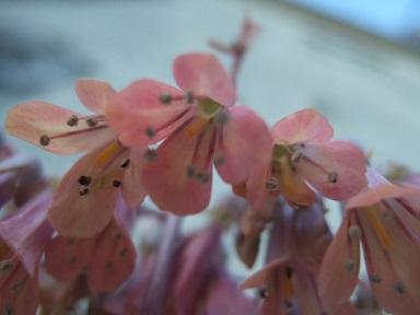 Bryophyllum daigremontiana (= Kalanchoe daigremontiana) Dscf8843