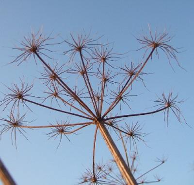 Heracleum sphondylium - grande berce, berce sphondyle Dscf9211