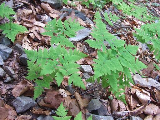 Gymnocarpium dryopteris - polypode du chêne, gymnocarpium dryoptère Dscf9310
