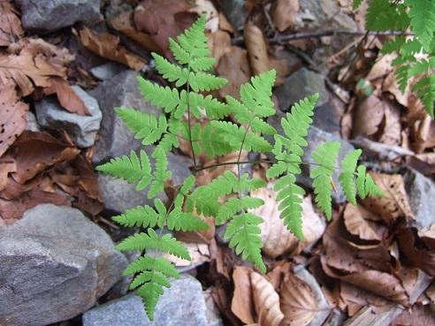 Gymnocarpium dryopteris - polypode du chêne, gymnocarpium dryoptère Dscf9311