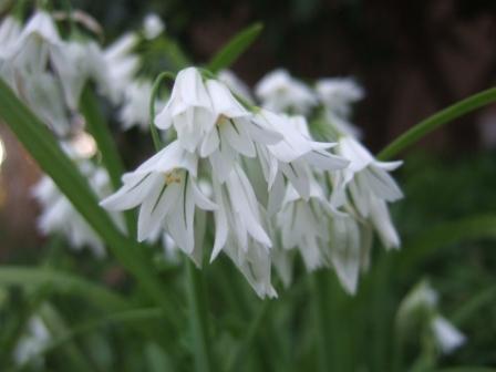 Allium triquetrum - ail triquètre, ail à trois angles Dscf9515