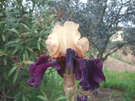 Floraison de nos iris barbus saison 2014 Dscf9612
