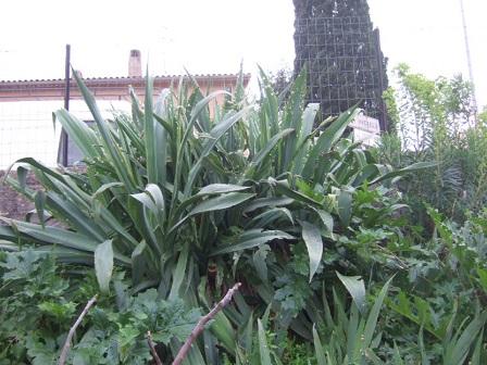 Beschorneria yuccoides Dscf9641