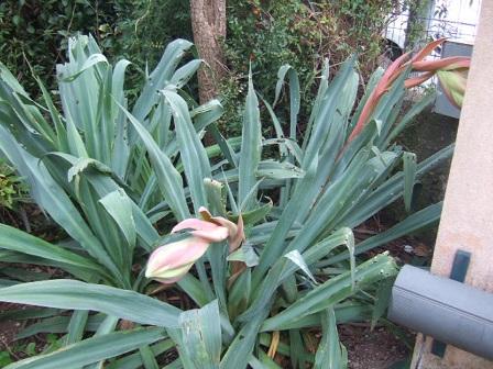 Beschorneria yuccoides Dscf9642