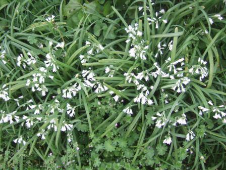 Allium triquetrum - ail triquètre, ail à trois angles Dscf9711