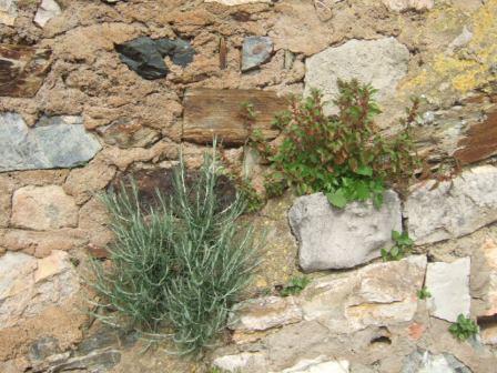 flore des vieux murs, rochers  et rocailles naturelles - Page 4 Dscf9713