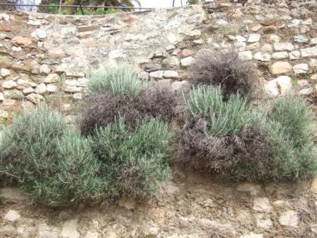flore des vieux murs, rochers  et rocailles naturelles - Page 4 Dscf9715