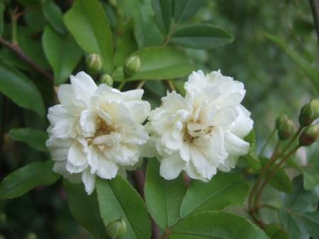 Rosa banksiae 'Albo Plena' Dscf9720