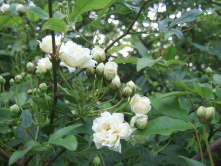 Rosa banksiae 'Albo Plena' Dscf9721