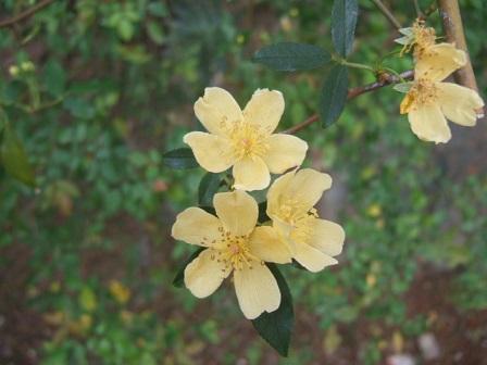 Rosa banksiae 'Lutea Plena' Dscf9722