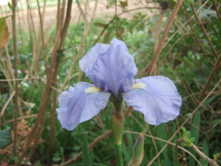 Iris barbus IB et BB (2012-2014) - Page 2 Dscf9820