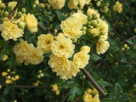Rosa banksiae 'Lutea Plena' Dscf9829