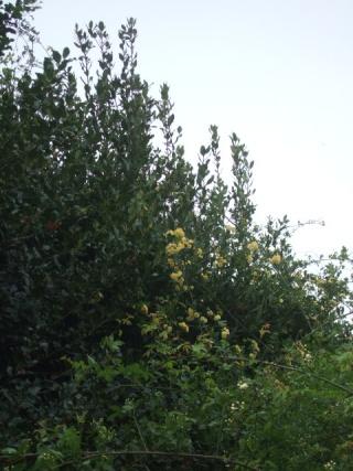 Rosa banksiae 'Lutea Plena' Dscf9830