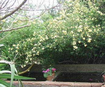 Rosa banksiae 'Lutea Plena' Dscf9831