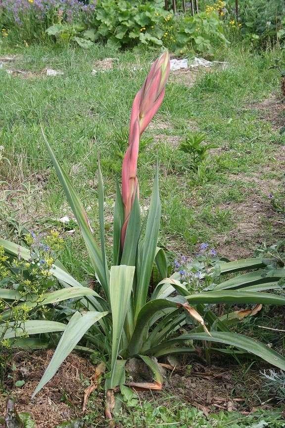 Beschorneria yuccoides Img_8610