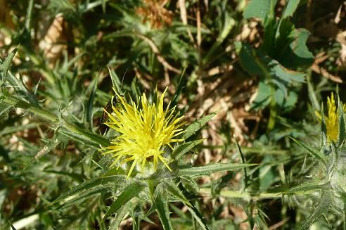 Carthamus lanatus - carthame laineux P1010710