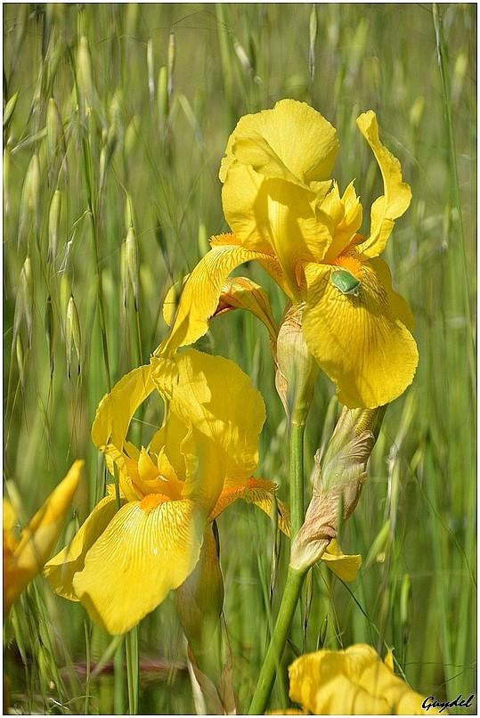 Iris champêtre ! _2014018