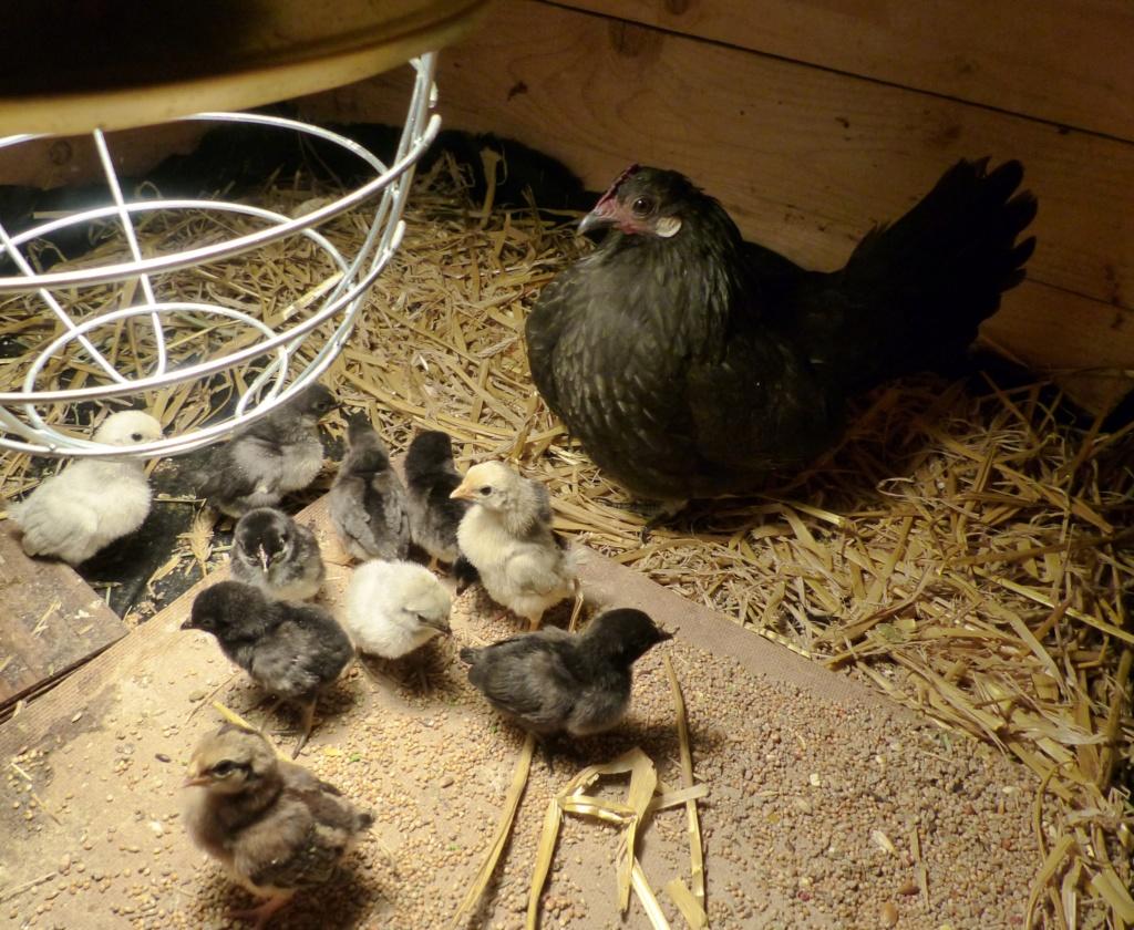 11 poussins sous une poule... problématique ou non? P1120510