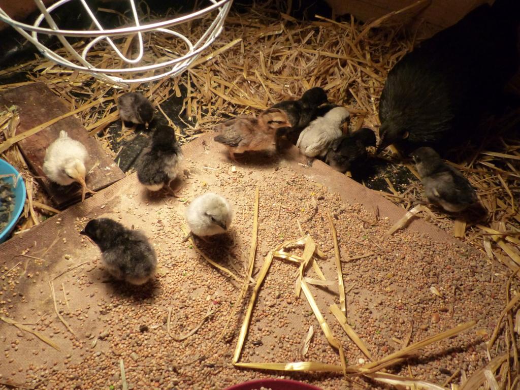 11 poussins sous une poule... problématique ou non? P1120610
