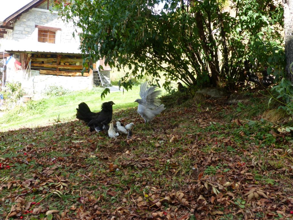 11 poussins sous une poule... problématique ou non? P1120810