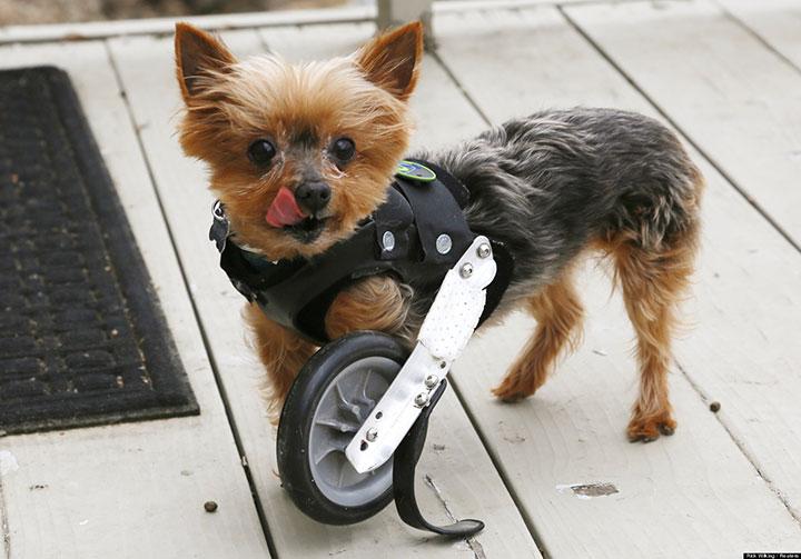 20 animaux handicapés retrouvent leur joie de vivre grâce à des prothèses conçues sur mesure  20-ani11