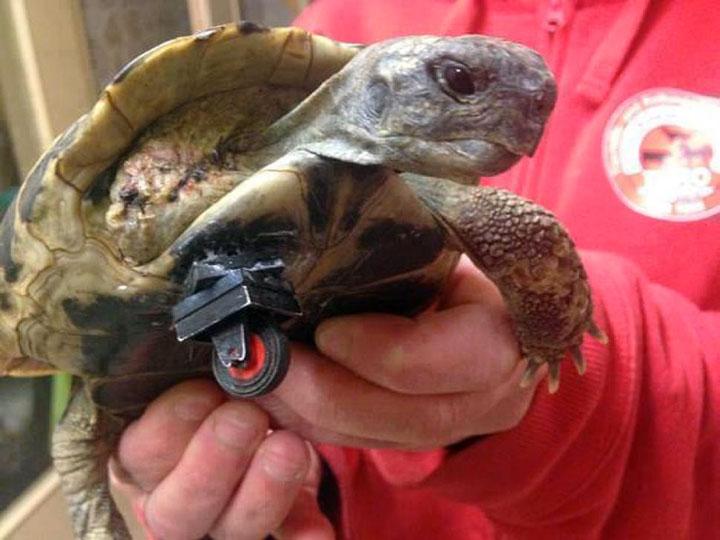 20 animaux handicapés retrouvent leur joie de vivre grâce à des prothèses conçues sur mesure  20-ani16