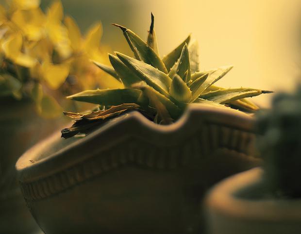 5 plantes qui adorent pousser en intérieur Aloe10