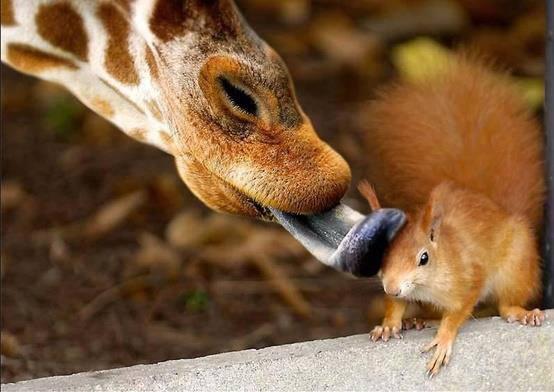 Drôles de couples Girafe10