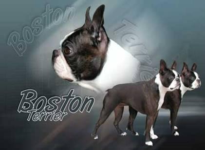 autocollant boston terrier Image011