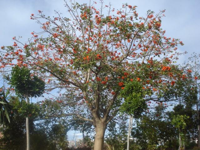 Identification de cet arbre Erythr10