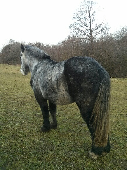 (60) ATHOS - Hongre Trait Percheron né en 2010 -  A ADOPTER (306 € + don libre) Athos_11