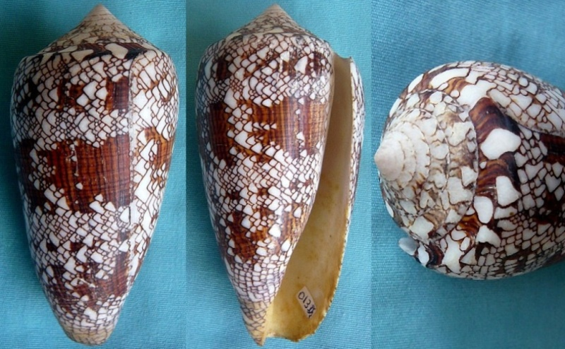 Conus (Cylinder) neovicarius   da Motta, 1982 - Page 2 00927110