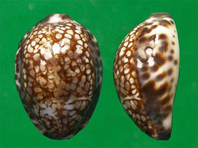cypraea 20111010