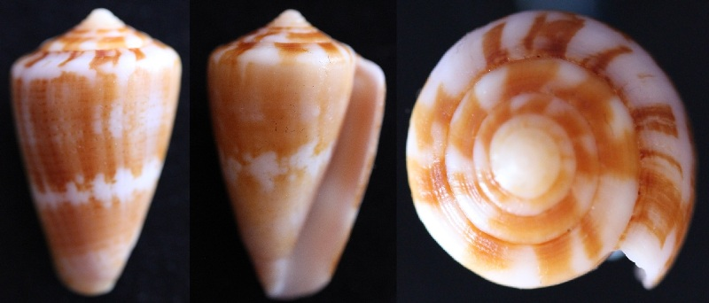 Conus (Strategoconus) splendidulus  GB Sowerby I, 1833 30_57_11