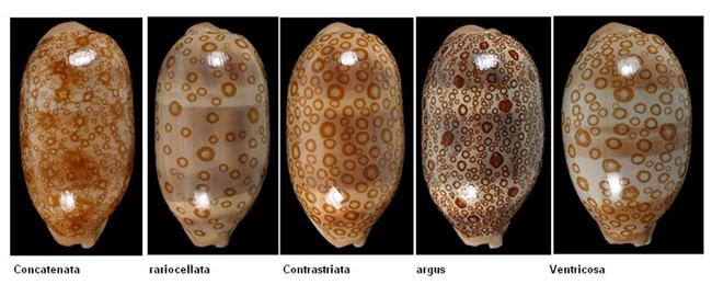 Cypraea argus contrastiata (Arestorides) - Perry 1811 Argus110