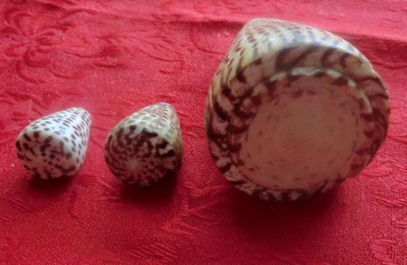 Conus  litteratus Linnaeus, 1758 et Conus  eburneus Hwass, 1792 Cimg9018