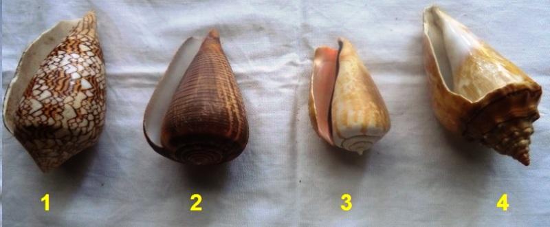 Conus textile, Conus figulinus, Strombus luhuanus & Strombus Sp. juvénile Cone1111