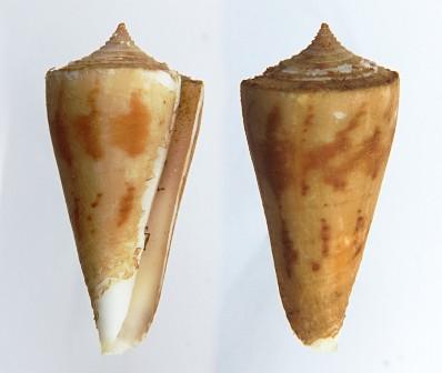 2 avis Conus tribblei Walls, 1977 et 2 avis Conus poormani - Berry, 1968  (?)  Conein10
