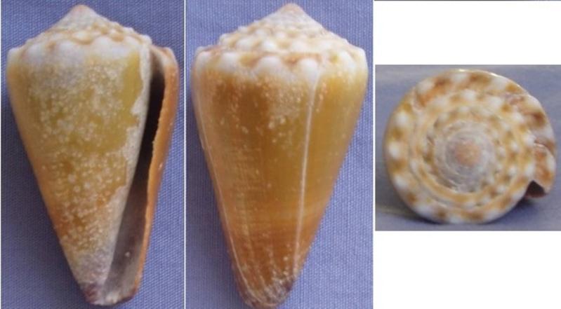 Conus sanguinolentus - Quoy & Gaimard, 1834 Conus_11