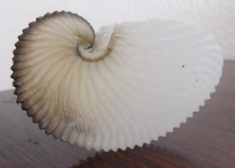 Coquillage à identifier = Argonauta argo Coqui010
