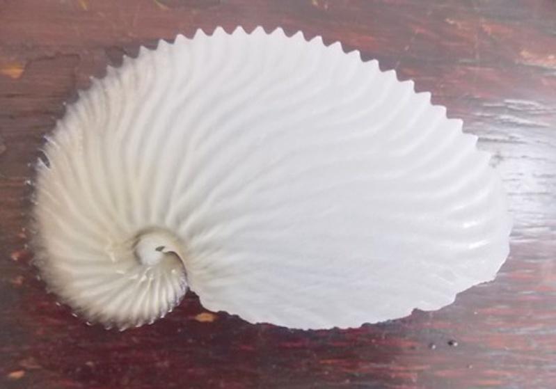 Coquillage à identifier = Argonauta argo Coqui012