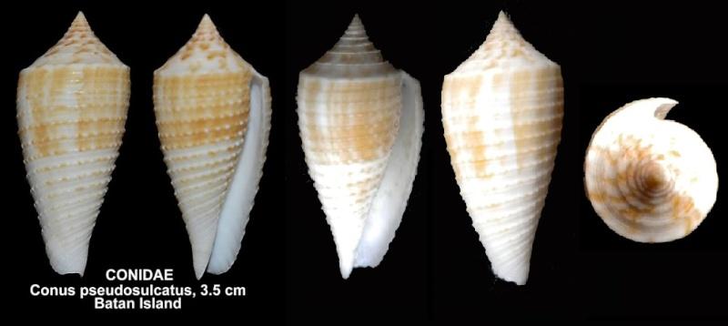 Conus (Phasmoconus) asiaticus   da Motta, 1985 Dad22110