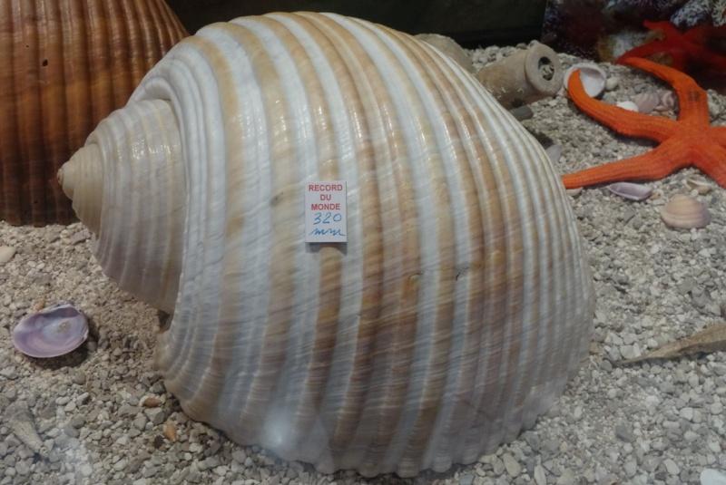 Musée des coquillages de Méditerranée de Saint Jean-Cap Ferrat (06) Dsc00110