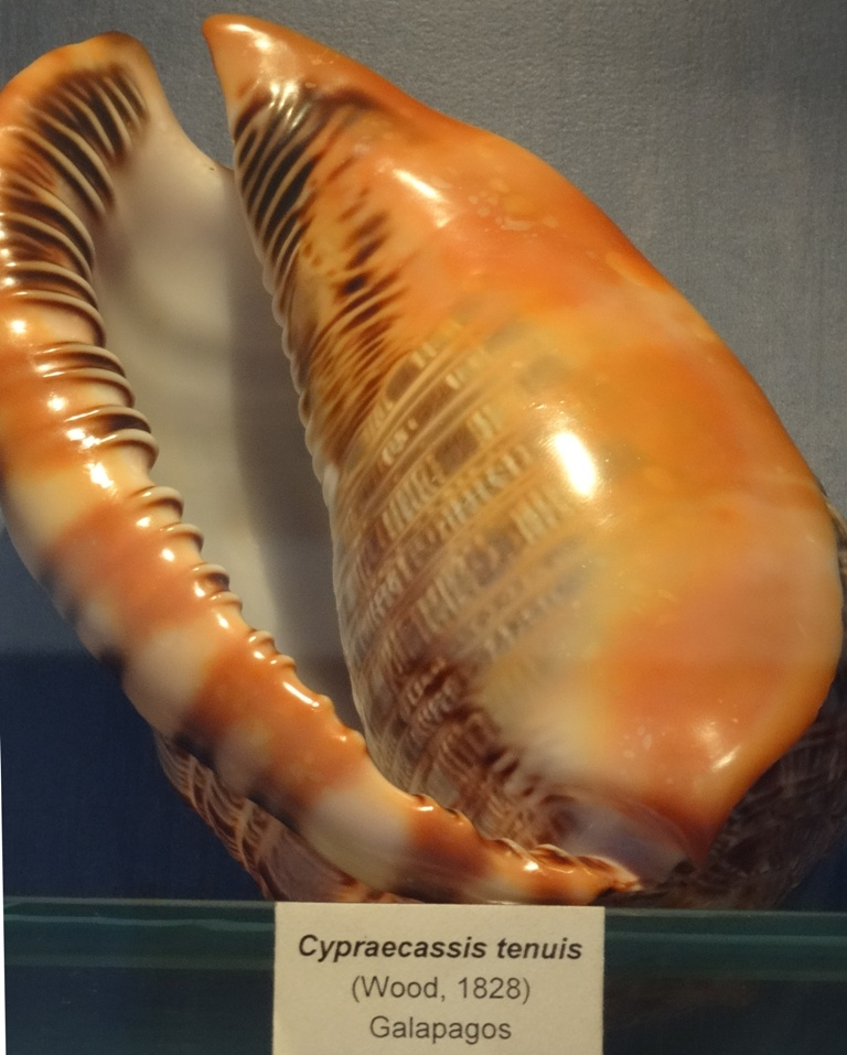 Musée des coquillages de Méditerranée de Saint Jean-Cap Ferrat (06) Dsc00111