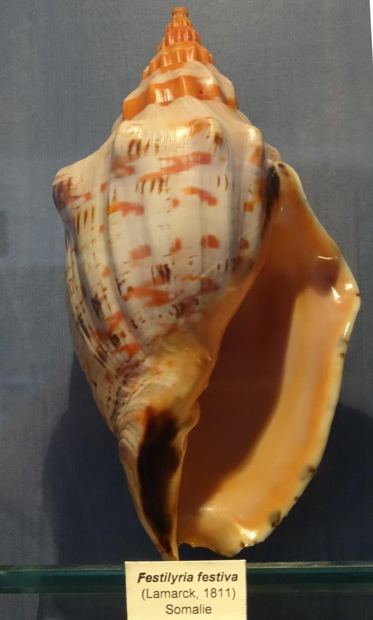 Musée des coquillages de Méditerranée de Saint Jean-Cap Ferrat (06) Dsc00112