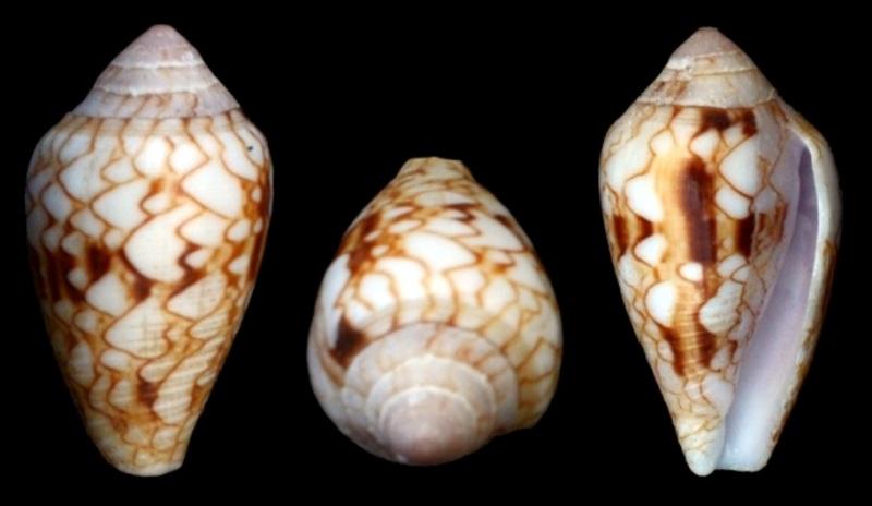 Conus (Cylinder) retifer   Menke, 1829 Dsc_3810