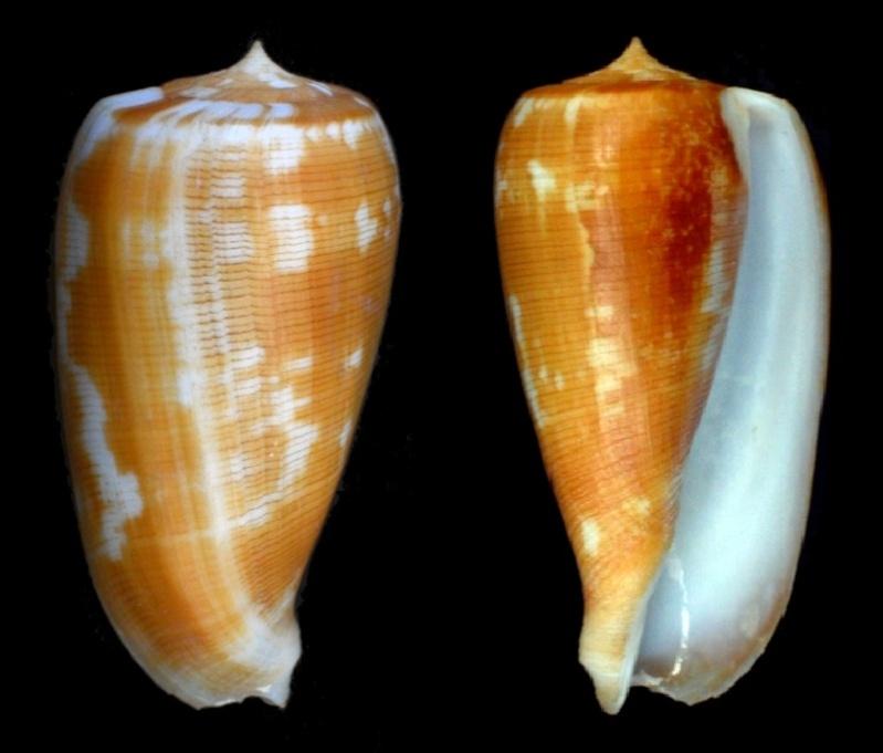 Conus (Phasmoconus) filamentosus (Reeve, 1849) voir Conus (Ph) conspursus Dsc_3811