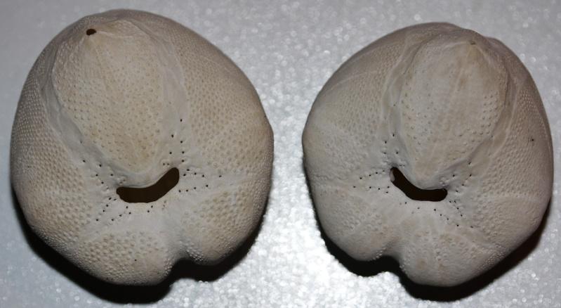 Spatangoida - Loveniidae - Echinocardium cordatum (Pennant, 1777) Echino10